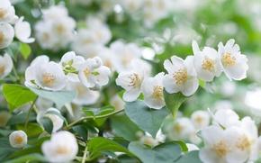 Wallpaper white, macro, Bush, Jasmine
