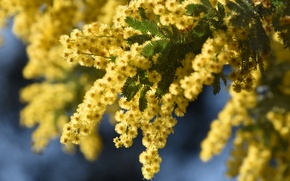 Picture macro, inflorescence, Mimosa