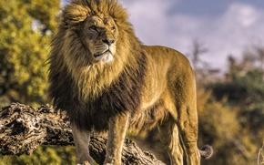 Wallpaper the king of beasts, wild cat, predator, Leo