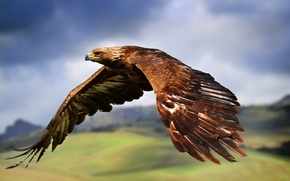 Picture flight, bird, wings, Eagle, stroke