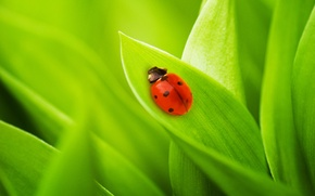 Wallpaper nature, ladybug, leaves, grass, green macro, bugs, grass, nature