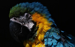 Picture parrot, the beautiful, macaw