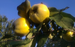Picture autumn, leaves, fly, September, quince