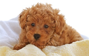 Picture baby, puppy, curly