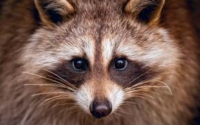 Picture face, portrait, raccoon