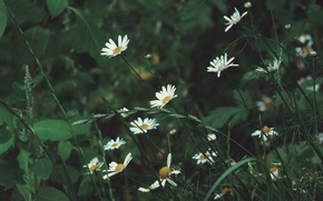 Picture summer, nature, chamomile, Flowers