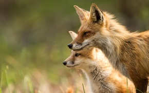 Picture animals, light, nature, Fox, Fox