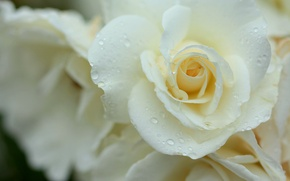 Picture white, drops, macro, tenderness, rose, petals, buds