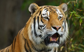Picture face, tiger, predator, wild cat, The Amur tiger
