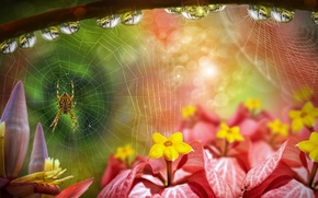 Picture drops, flowers, web, spider