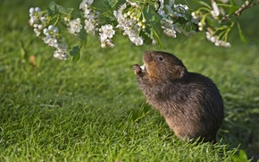Picture grass, branch, flowering, rodent, water vole