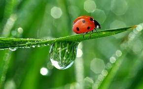 Picture drops, nature, Rosa, reflection, ladybug, crawling