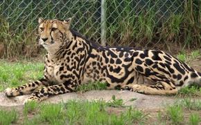 Picture cat, Cheetah, king Cheetah