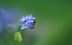 Picture macro, petals, inflorescence, forget-me-not