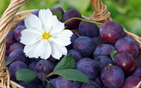 Picture basket, plum, kosmeya