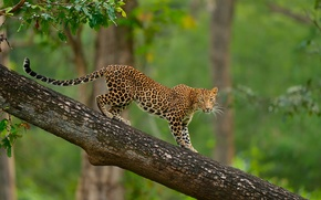 Wallpaper tree, leopard, wildlife