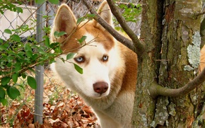 Picture leaves, Dog, red, husky