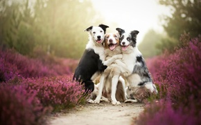 Picture dogs, friends, border collies