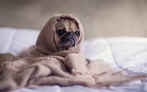 Wallpaper blanket, dog, pug