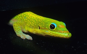 Picture Lizard, black background, Gecko. green