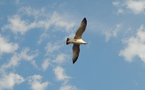 Picture sky, bird, flight, gull