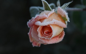 Picture cold, frost, flower, macro, flowers, background, Wallpaper, rose, frost