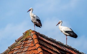Picture birds, house, storks