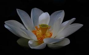 Picture flower, petals, White Lotus