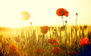 Picture field, the sun, flowers, red, background, widescreen, Wallpaper, Mac, Maki, wallpaper, flowers, widescreen, flowers, background, ...