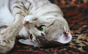 Picture eyes, fur, feline