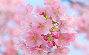 Wallpaper macro, cherry, flowering