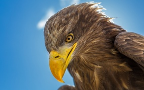 Wallpaper bird, head, beak, eagle