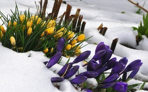 Picture flowers, snow, crocus