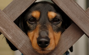Picture eyes, face, wool, nose, Dachshund, Groote
