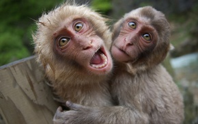 Picture eyes, face, monkeys, primates