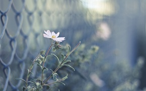 Picture flower, pink, the fence, blur, buds
