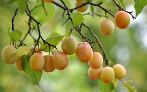 Picture leaves, tree, branch, fruit, leaves, tree, fruits, branch