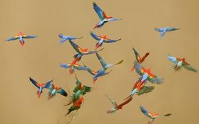 Picture the sky, flight, birds, color, parrot