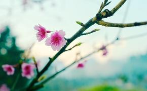 Picture flower, sakura, bokeh, spring
