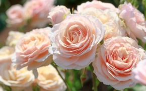 Picture macro, pink, tenderness, roses, beauty