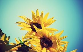 Picture summer, the sky, sunflowers, flowers, yellow, sunflower, blue