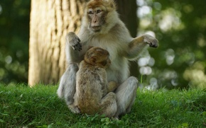 Picture grass, family, monkey