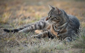 Picture cat, look, grey, collar, grass, cat