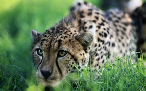 Picture grass, Cheetah, hunting