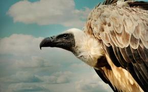 Picture clouds, beak, flight, eagle