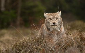 Picture grass, look, face, nature, animal, predator, wild cat, the bushes, Lynx