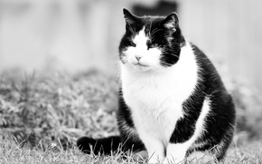 Picture cat, look, pussy, Kote, black and white