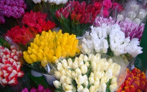 Picture spring, Tulips, March