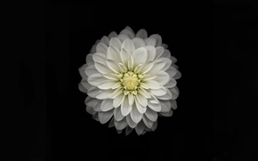 Picture white, yellow, Apple, color, petals, black background, iOS 8