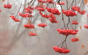 Picture branches, red, tree, Rowan